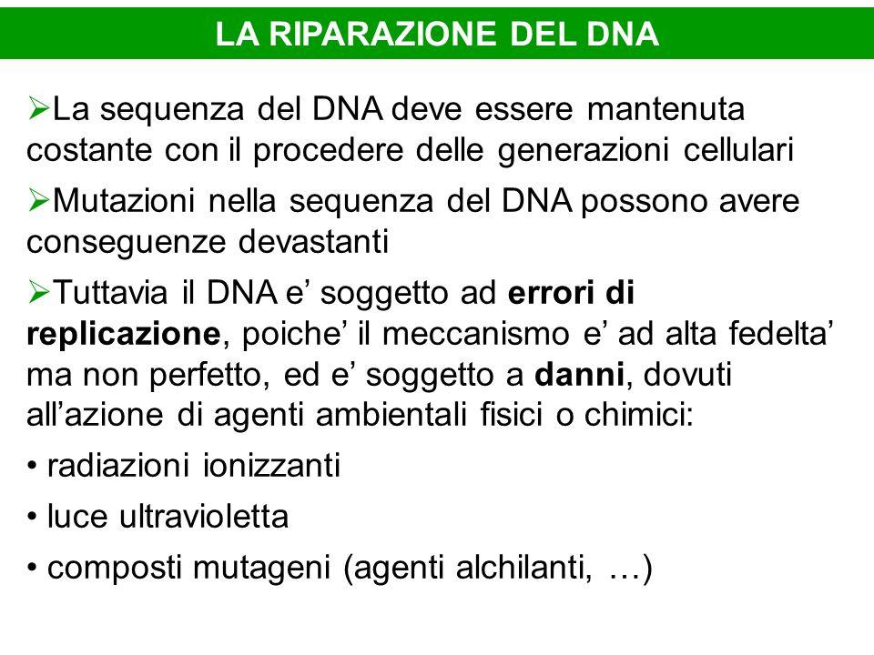 LA RIPARAZIONE DEL DNA La sequenza del DNA deve essere mantenuta costante con il procedere delle generazioni cellulari Mutazioni nella sequenza del DN