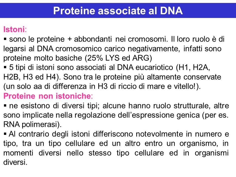 Istoni: sono le proteine + abbondanti nei cromosomi. Il loro ruolo è di legarsi al DNA cromosomico carico negativamente, infatti sono proteine molto b