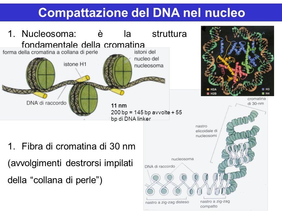 1.Nucleosoma: è la struttura fondamentale della cromatina 1.Fibra di cromatina di 30 nm (avvolgimenti destrorsi impilati della collana di perle) Compa
