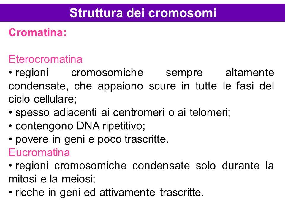 Cromatina: Eterocromatina regioni cromosomiche sempre altamente condensate, che appaiono scure in tutte le fasi del ciclo cellulare; spesso adiacenti