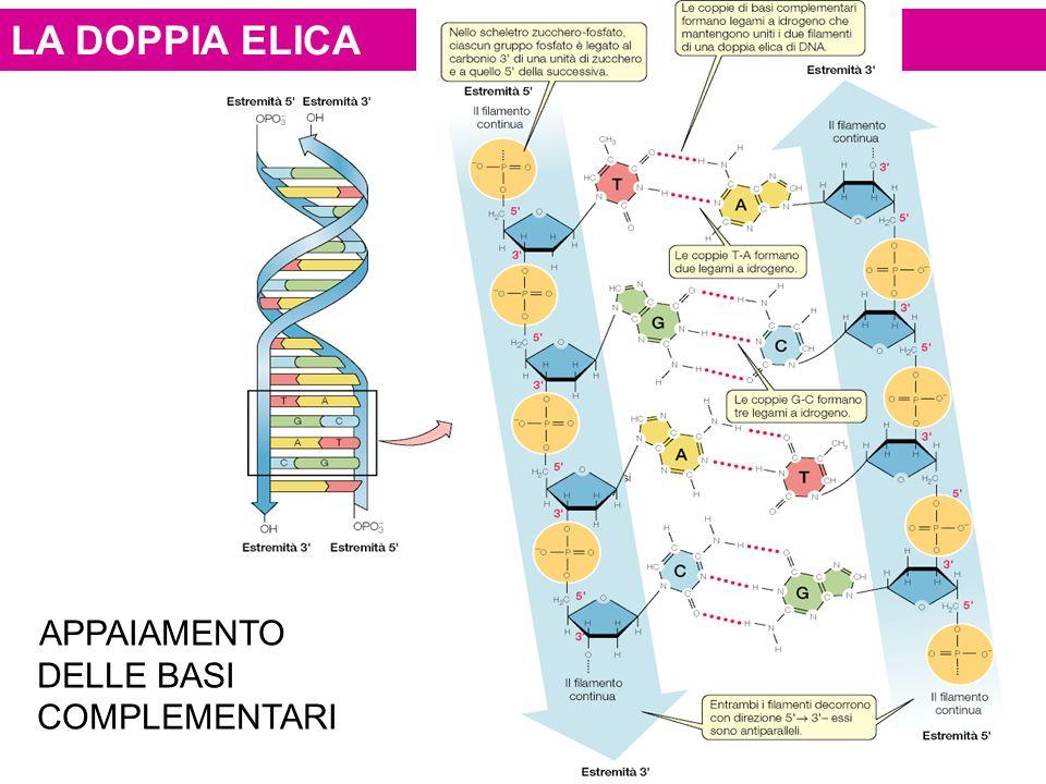 LA DOPPIA ELICAELICA APPAIAMENTO DELLE BASI COMPLEMENTARI