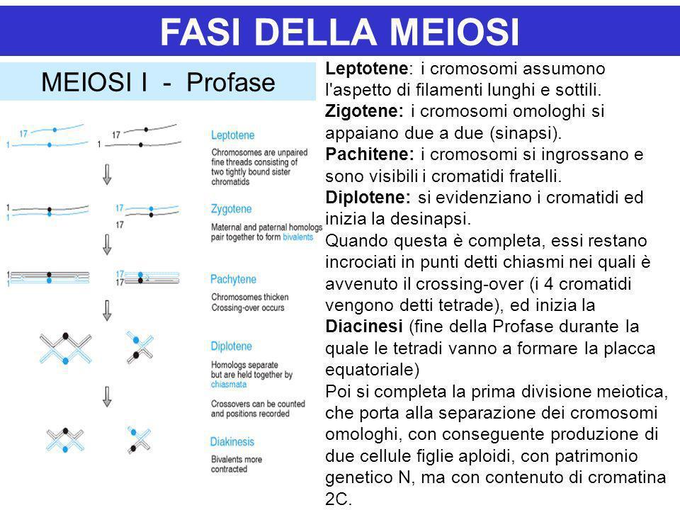 FASI DELLA MEIOSI MEIOSI I - Profase Leptotene: i cromosomi assumono l'aspetto di filamenti lunghi e sottili. Zigotene: i cromosomi omologhi si appaia