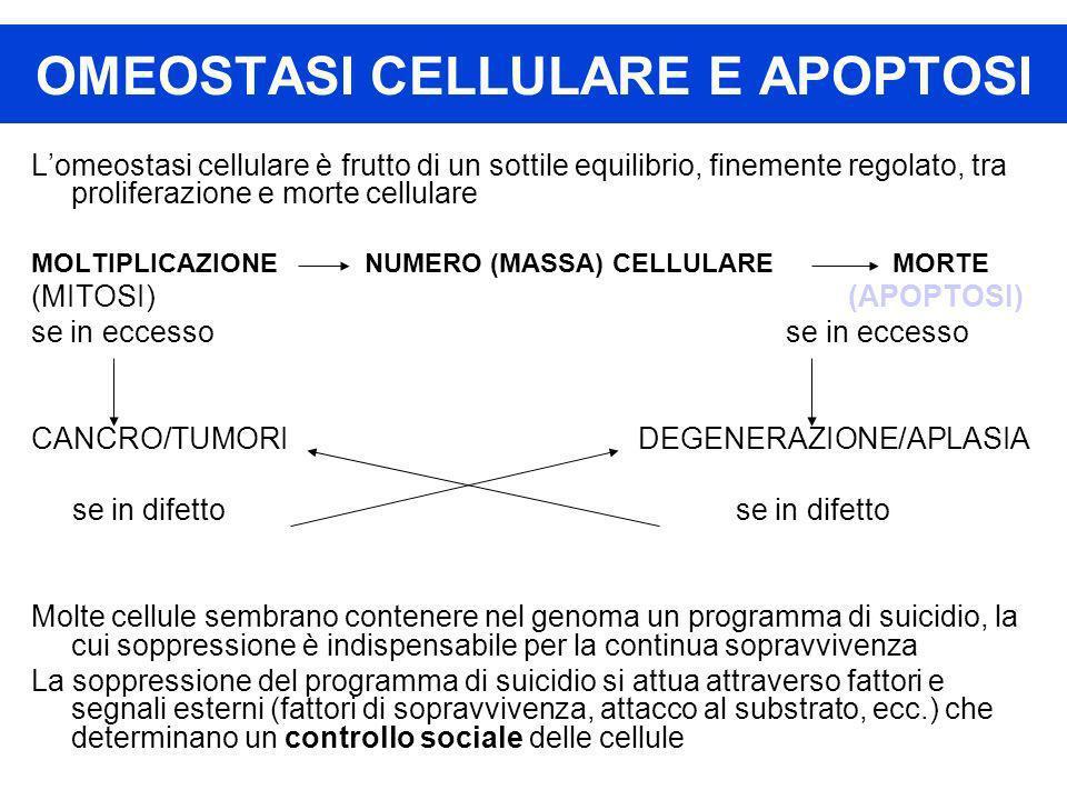 OMEOSTASI CELLULARE E APOPTOSI Lomeostasi cellulare è frutto di un sottile equilibrio, finemente regolato, tra proliferazione e morte cellulare MOLTIP