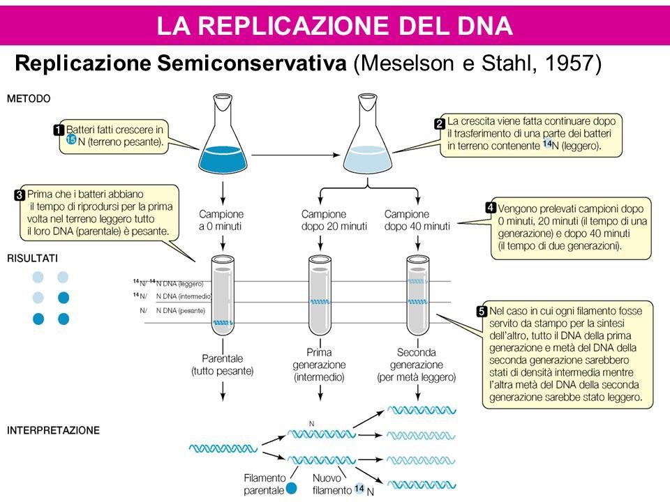 Replicazione Semiconservativa (Meselson e Stahl, 1957)