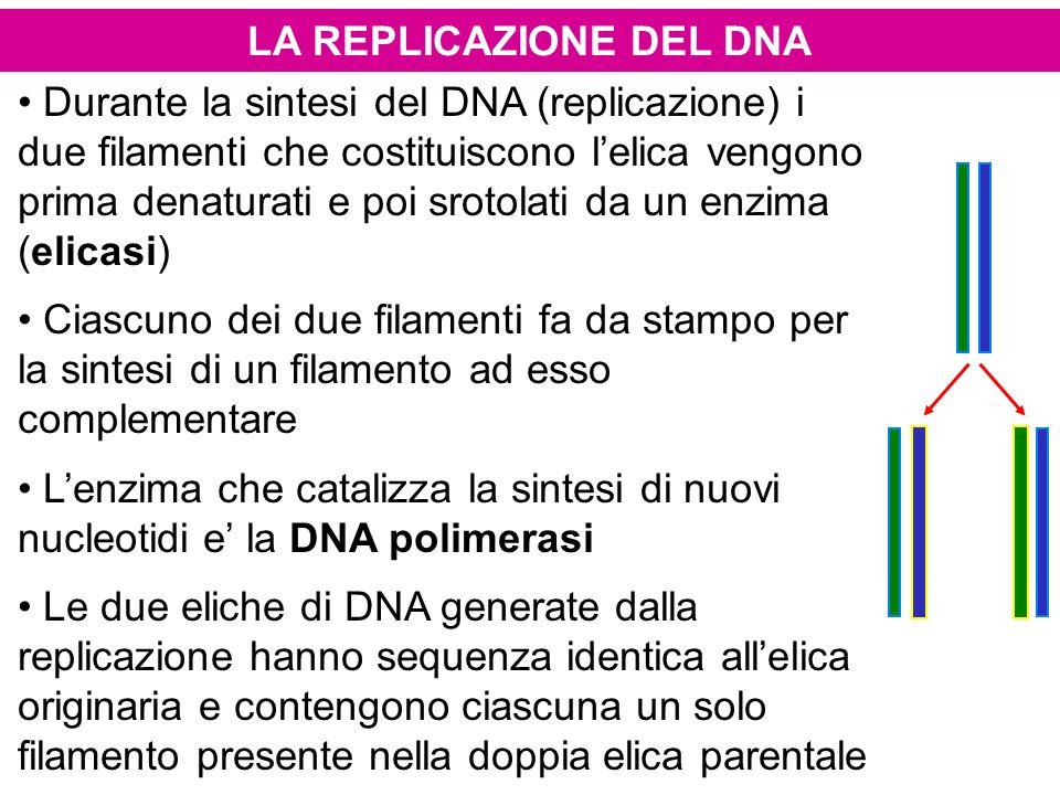 LA REPLICAZIONE DEL DNA Durante la sintesi del DNA (replicazione) i due filamenti che costituiscono lelica vengono prima denaturati e poi srotolati da