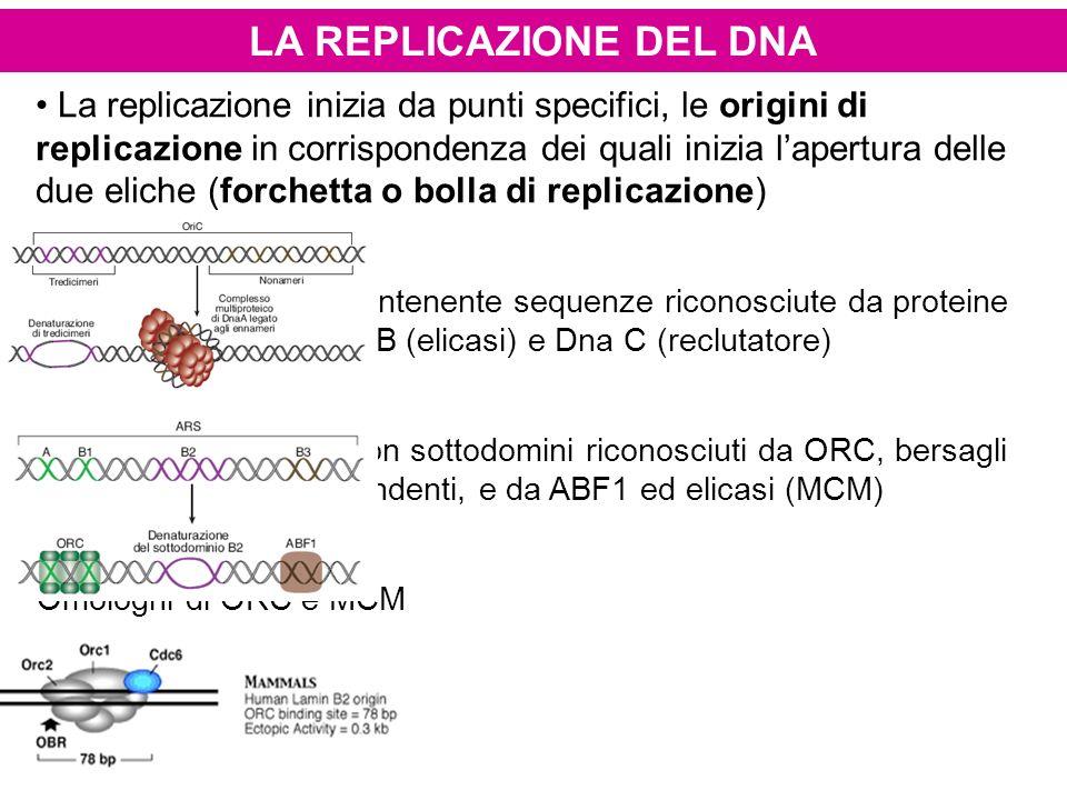 LA REPLICAZIONE DEL DNA La replicazione inizia da punti specifici, le origini di replicazione in corrispondenza dei quali inizia lapertura delle due e