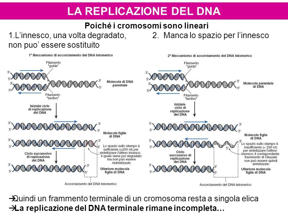 Poiché i cromosomi sono lineari 1.Linnesco, una volta degradato,2. Manca lo spazio per linnesco non puo essere sostituito Quindi un frammento terminal