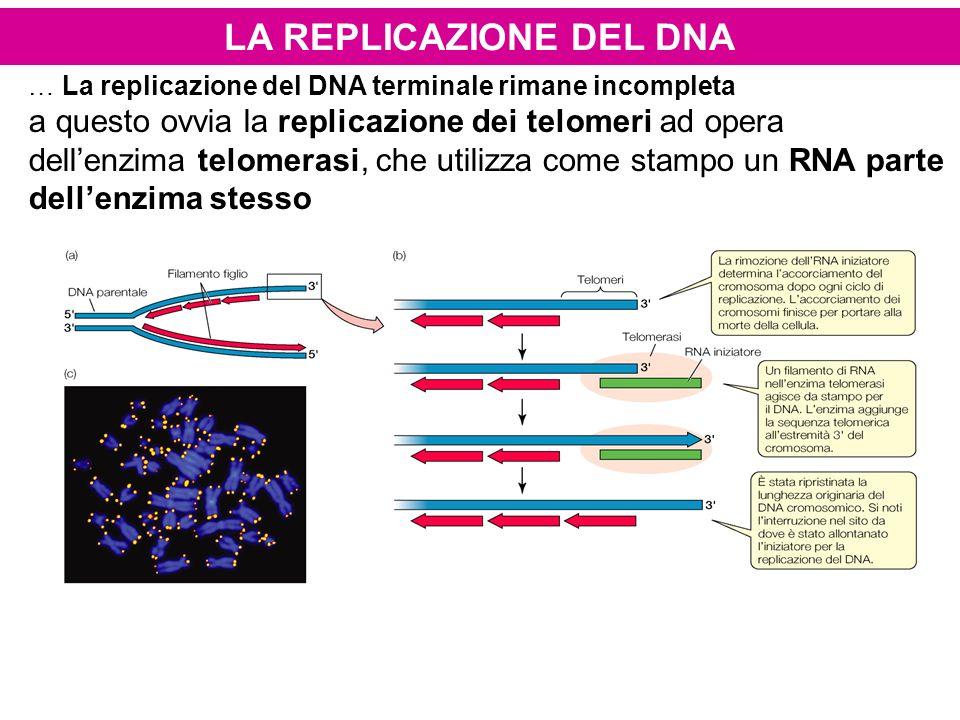 LA REPLICAZIONE DEL DNA … La replicazione del DNA terminale rimane incompleta a questo ovvia la replicazione dei telomeri ad opera dellenzima telomera