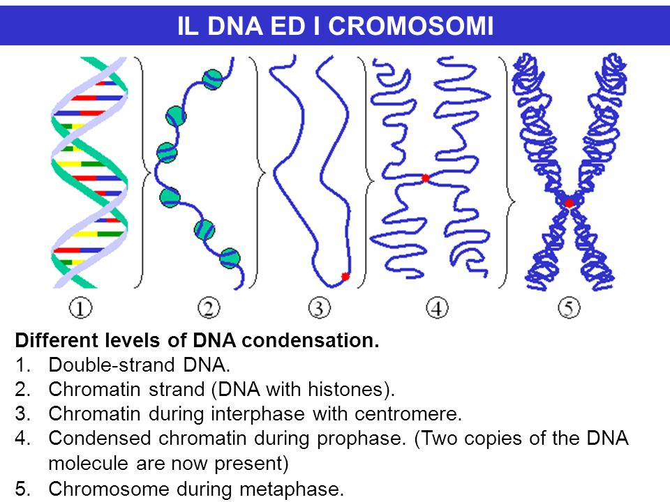 IL DNA ED I CROMOSOMI Different levels of DNA condensation. 1.Double-strand DNA. 2.Chromatin strand (DNA with histones). 3.Chromatin during interphase