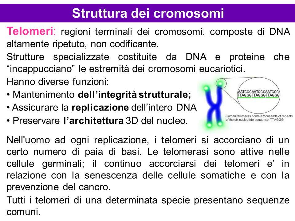Telomeri: regioni terminali dei cromosomi, composte di DNA altamente ripetuto, non codificante. Strutture specializzate costituite da DNA e proteine c
