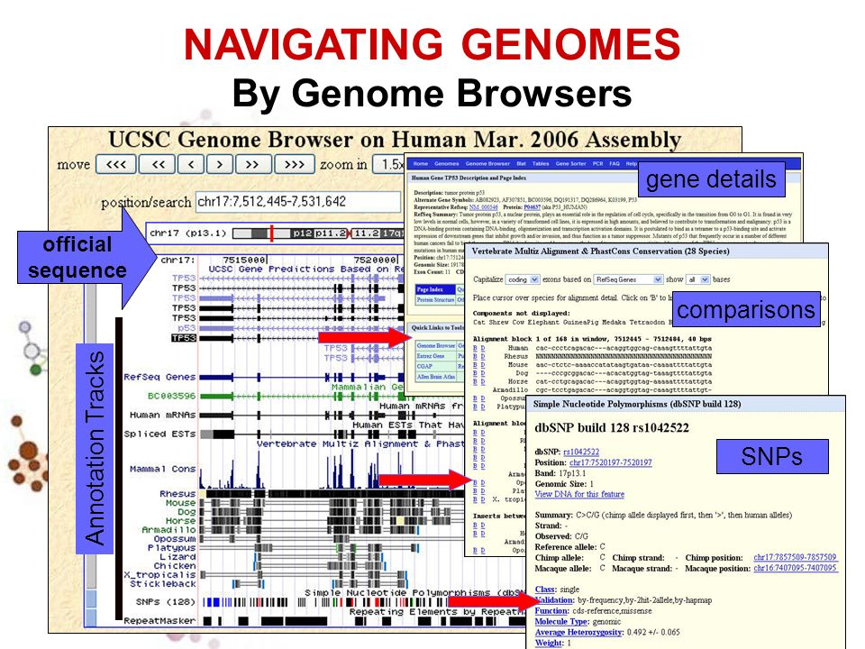 gene details Annotation Tracks official sequence comparisons SNPs NAVIGATING GENOMES By Genome Browsers