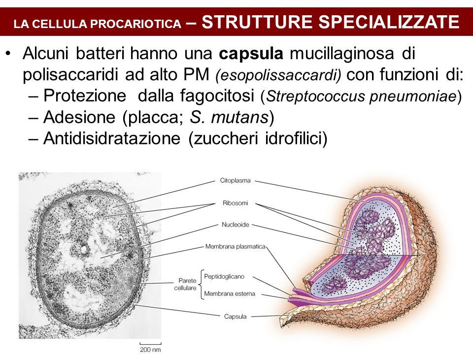 LA CELLULA PROCARIOTICA – STRUTTURE SPECIALIZZATE Alcuni batteri hanno una capsula mucillaginosa di polisaccaridi ad alto PM (esopolissaccardi) con fu
