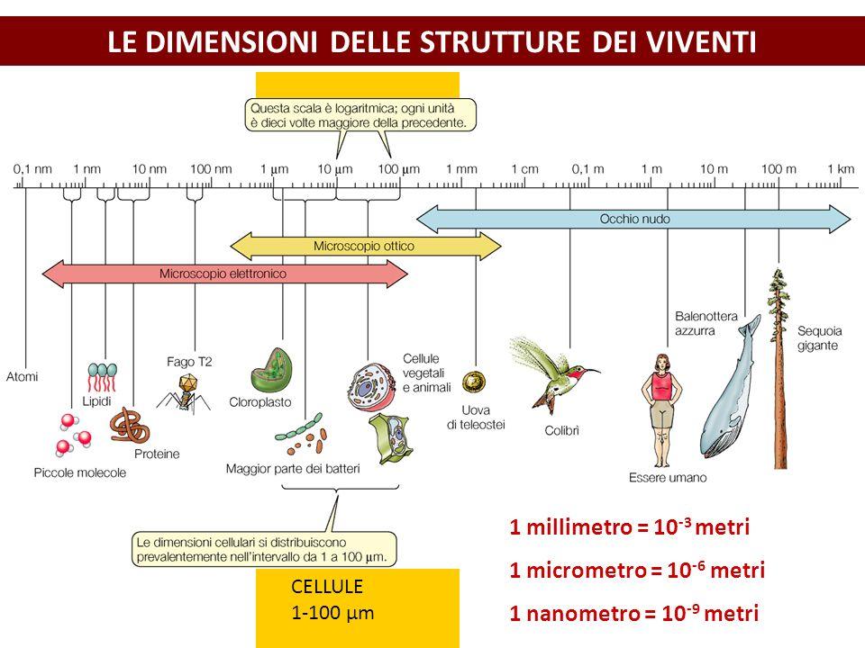 LE DIMENSIONI DELLE STRUTTURE DEI VIVENTI CELLULE 1-100 μm 1 millimetro = 10 -3 metri 1 micrometro = 10 -6 metri 1 nanometro = 10 -9 metri