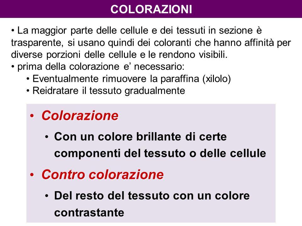 Colorazione Colorazione Con un colore brillante di certe componenti del tessuto o delle cellule Contro colorazione Contro colorazione Del resto del tessuto con un colore contrastante COLORAZIONI La maggior parte delle cellule e dei tessuti in sezione è trasparente, si usano quindi dei coloranti che hanno affinità per diverse porzioni delle cellule e le rendono visibili.