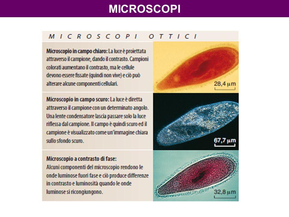 Preparati in campo chiaro Un batterio Campo chiaro, 1000x Cellule MICROSCOPIA OTTICA
