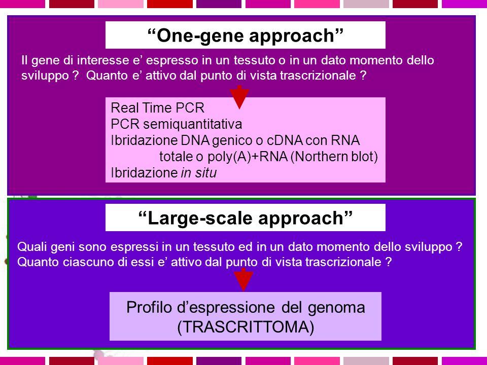 One-gene approach Il gene di interesse e espresso in un tessuto o in un dato momento dello sviluppo ? Quanto e attivo dal punto di vista trascrizional