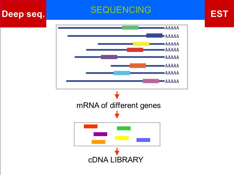 mRNA of different genes cDNA LIBRARY SEQUENCING EST Deep seq.