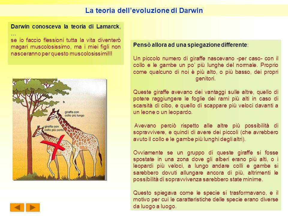 Pensò allora ad una spiegazione differente: Un piccolo numero di giraffe nascevano -per caso- con il collo e le gambe un po più lunghe del normale. Pr
