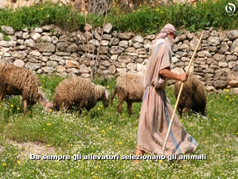 Da sempre gli allevatori selezionano gli animali Da sempre gli allevatori selezionano gli animali O