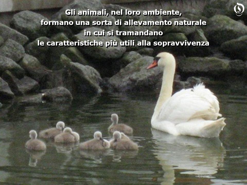 Gli animali, nel loro ambiente, formano una sorta di allevamento naturale in cui si tramandano le caratteristiche più utili alla sopravvivenza Gli ani