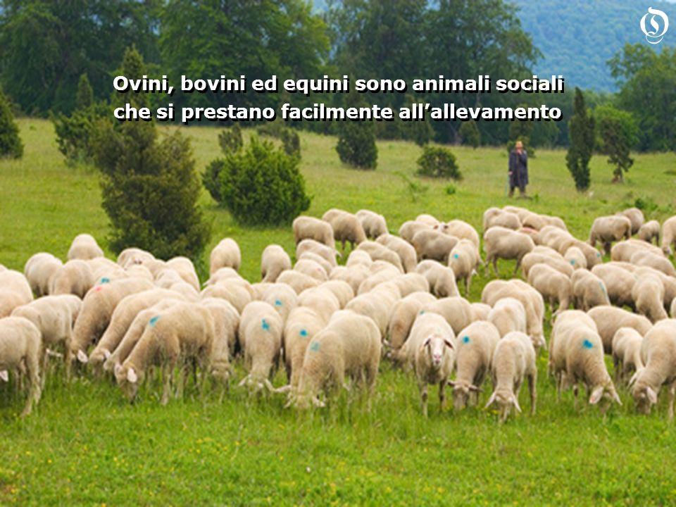 Ovini, bovini ed equini sono animali sociali che si prestano facilmente allallevamento Ovini, bovini ed equini sono animali sociali che si prestano facilmente allallevamento O