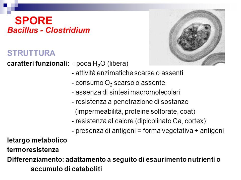 SPORE Bacillus - Clostridium STRUTTURA caratteri funzionali: - poca H 2 O (libera) - attività enzimatiche scarse o assenti - consumo O 2 scarso o asse