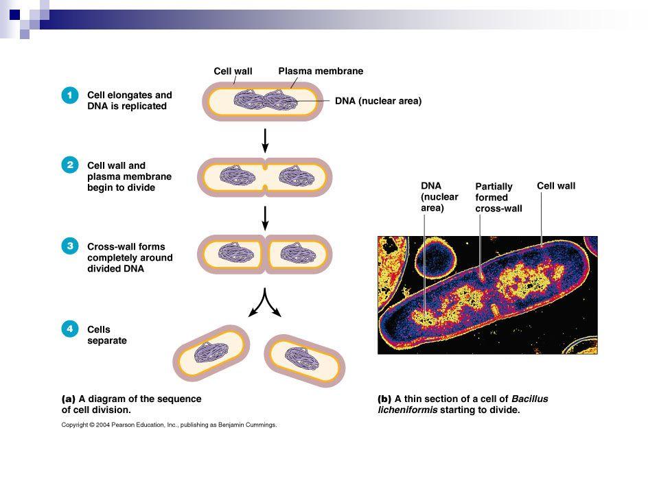 Fattori ambientali favorenti la vita e la moltiplicazione batterica - temperatura: mesofili (patogeni), optimum 37°C (20-45°) termofili (45-75°), psicrofili (15-20°); - pressione osmotica: - in soluzioni ipertoniche plasmolisi (perdita H 2 O, raggrinzimento membrana) - in soluzioni ipotoniche: scoppio cellula, protoplasti e sferoplasti - concentrazione di sali : NaCl 0,85% alofili 7-8% - pH: patogeni neutrofili 6-8 (4-9) - umidità - O 2 : aerobi, anaerobi