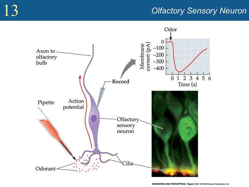 13 Olfactory Sensory Neuron