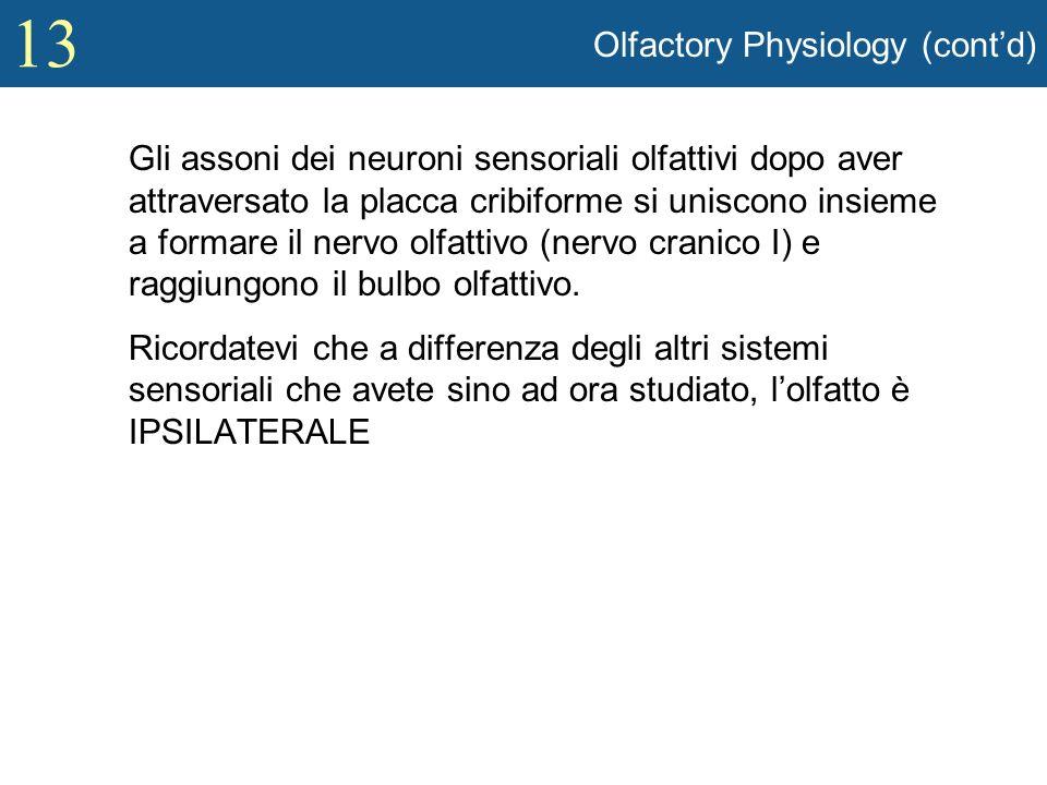 13 Olfactory Physiology (contd) Gli assoni dei neuroni sensoriali olfattivi dopo aver attraversato la placca cribiforme si uniscono insieme a formare