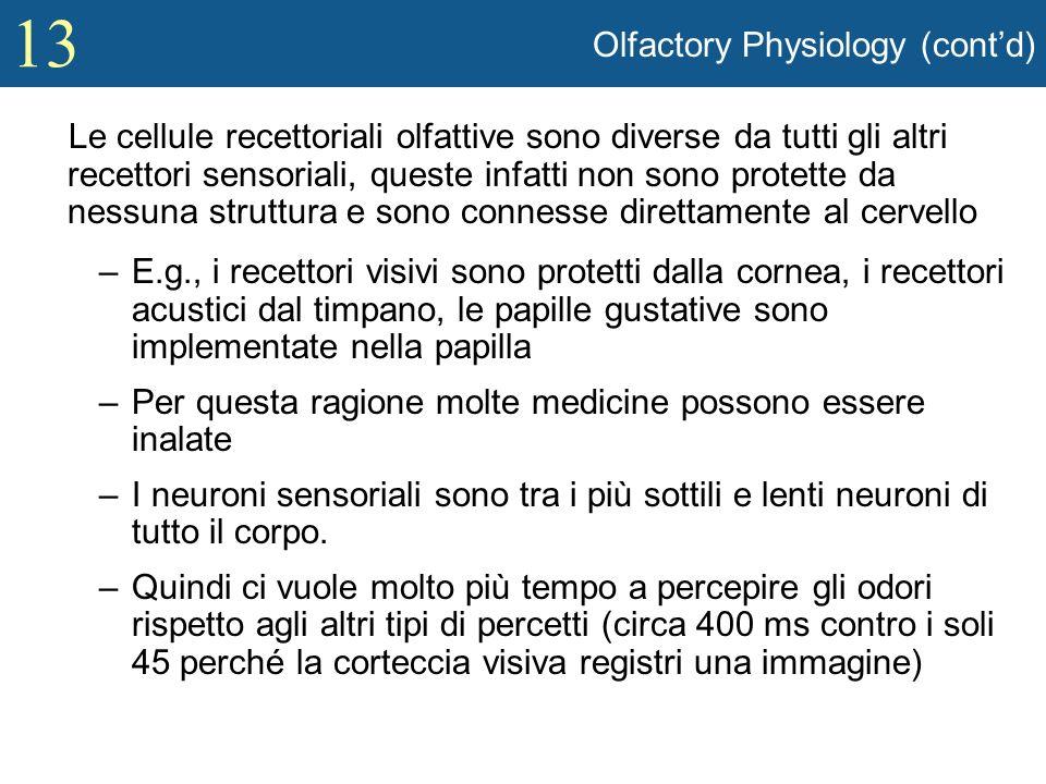 13 Olfactory Physiology (contd) Le cellule recettoriali olfattive sono diverse da tutti gli altri recettori sensoriali, queste infatti non sono protet