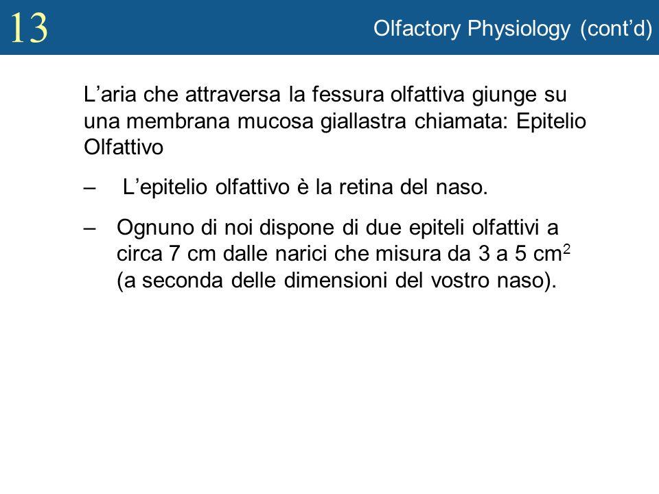 13 Olfactory Physiology (contd) Laria che attraversa la fessura olfattiva giunge su una membrana mucosa giallastra chiamata: Epitelio Olfattivo – Lepi