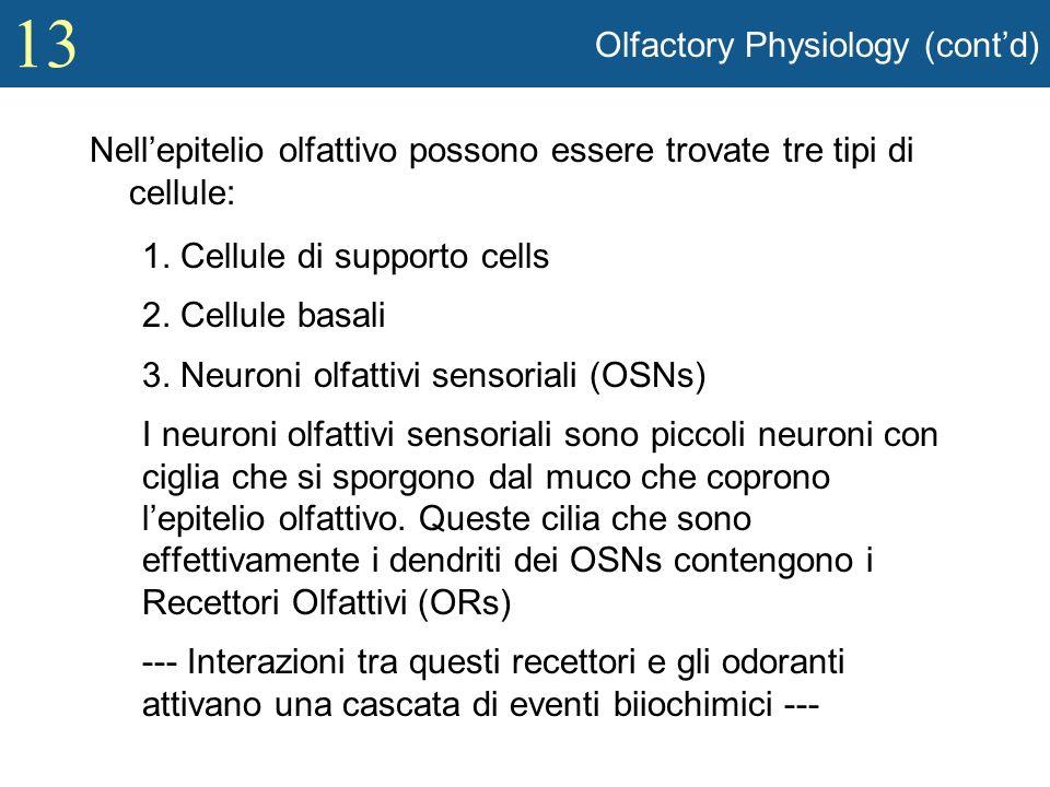 13 Olfactory Physiology (contd) Nellepitelio olfattivo possono essere trovate tre tipi di cellule: 1. Cellule di supporto cells 2. Cellule basali 3. N