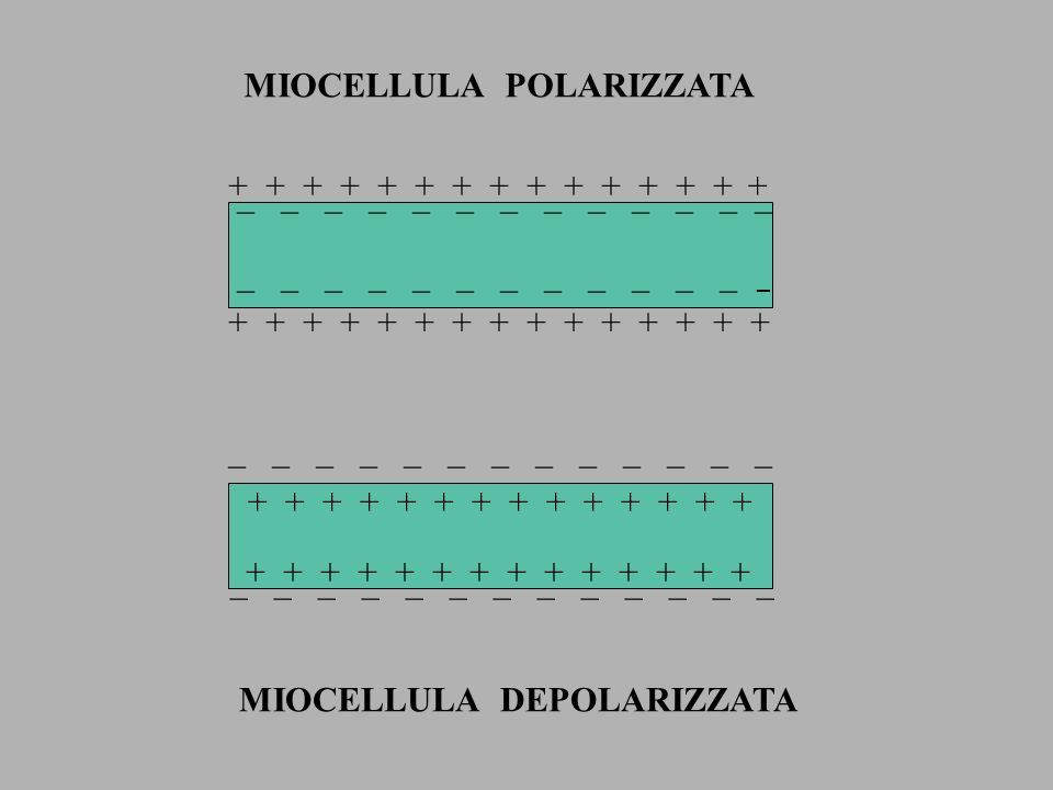 _ _ _ _ _ _ _ + + + _ _ _ _ _ _ _ + + + _ _ _ _ _ _ _ + + + + + + _ _ _ _ _ _ DEPOLARIZZAZIONE RIPOLARIZZAZIONE + + + CAVITA CARDIACA SUPERFICIE CARDIACA