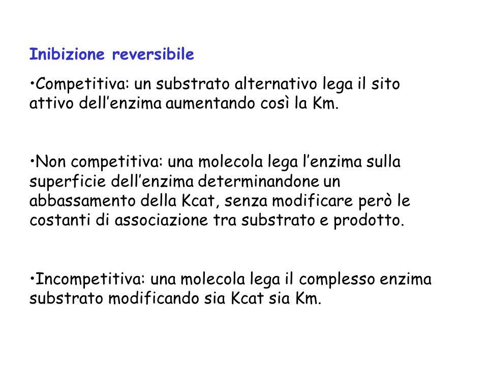 Inibizione reversibile Competitiva: un substrato alternativo lega il sito attivo dellenzima aumentando così la Km. Non competitiva: una molecola lega