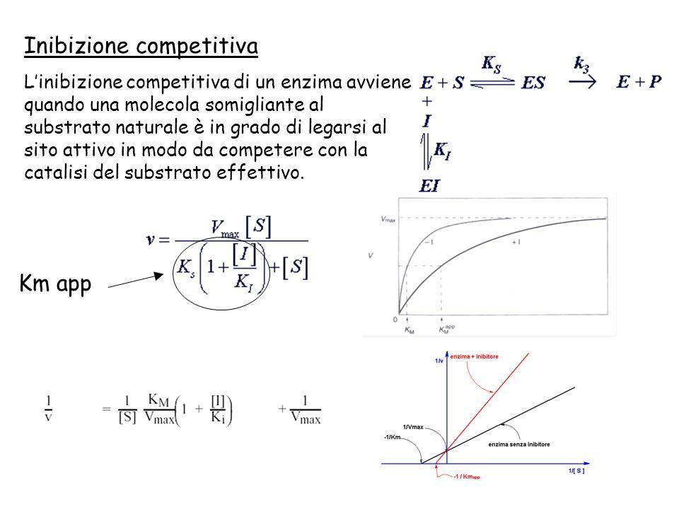 Km app Inibizione competitiva Linibizione competitiva di un enzima avviene quando una molecola somigliante al substrato naturale è in grado di legarsi