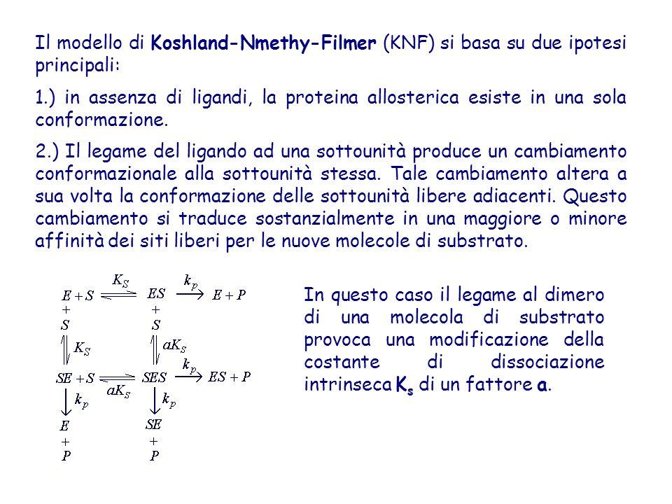 Il modello di Koshland-Nmethy-Filmer (KNF) si basa su due ipotesi principali: 1.) in assenza di ligandi, la proteina allosterica esiste in una sola co
