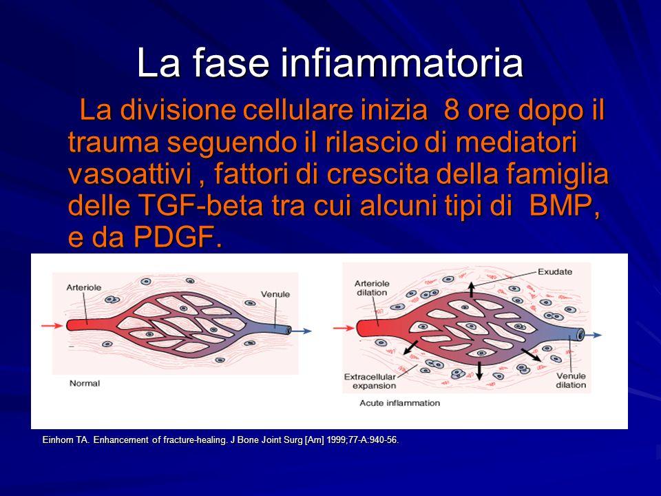 La fase infiammatoria La divisione cellulare inizia 8 ore dopo il trauma seguendo il rilascio di mediatori vasoattivi, fattori di crescita della famig