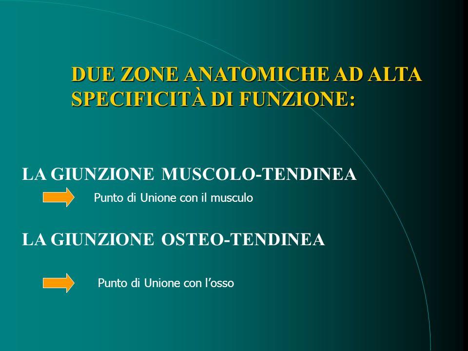 Giunzione musculo-tendineaGiunzione osteo-tendinea ALTA SPECIFICITÀ DI FUNZIONE: