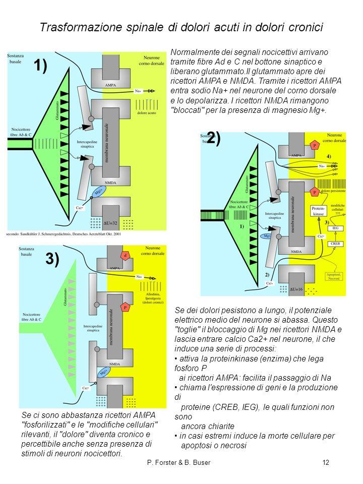 P. Forster & B. Buser12 Trasformazione spinale di dolori acuti in dolori cronici Normalmente dei segnali nocicettivi arrivano tramite fibre Ad e C nel