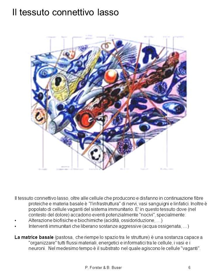 P. Forster & B. Buser6 Il tessuto connettivo lasso Il tessuto connettivo lasso, oltre alle cellule che producono e disfanno in continuazione fibre pro