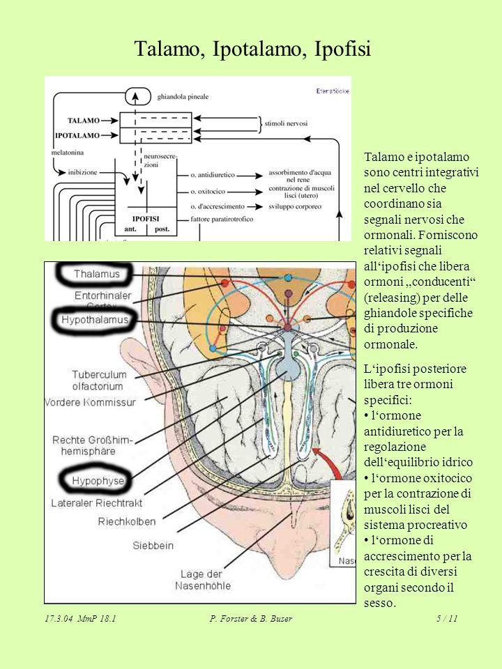 17.3.04 MmP 18.1P. Forster & B. Buser5 / 11 Talamo, Ipotalamo, Ipofisi Talamo e ipotalamo sono centri integrativi nel cervello che coordinano sia segn