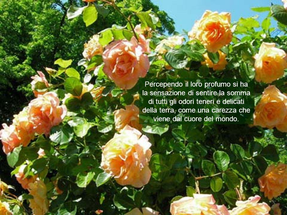 o bellissime rose di maggio, le regine dei fiori, per questo dedicate alla Madre di Dio.