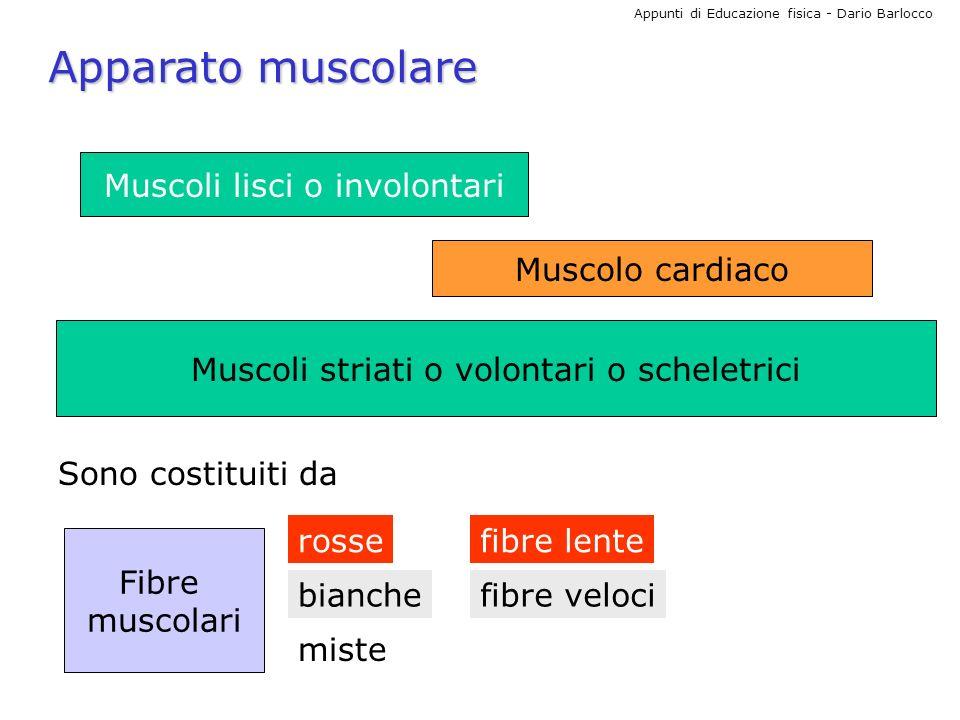 Appunti di Educazione fisica - Dario Barlocco Apparato muscolare Muscoli lisci o involontari Muscolo cardiaco Muscoli striati o volontari o scheletric