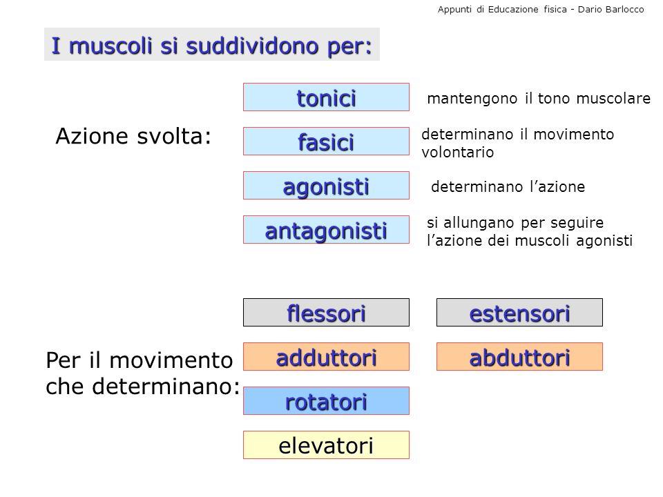 Appunti di Educazione fisica - Dario Barlocco I muscoli si suddividono per: Azione svolta: tonici fasici agonisti antagonisti determinano lazione dete