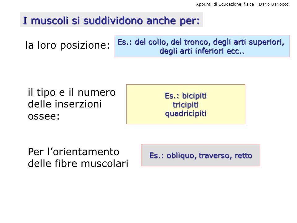 Appunti di Educazione fisica - Dario Barlocco I muscoli si suddividono anche per: la loro posizione: Es.: del collo, del tronco, degli arti superiori,