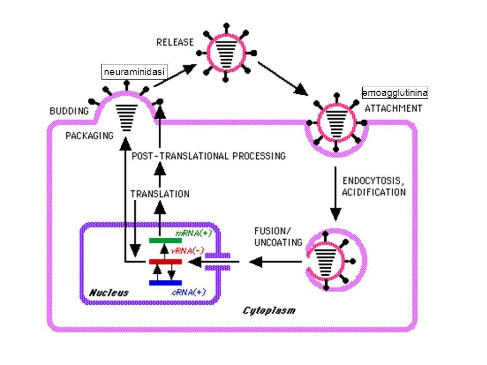 emoagglutinina neuraminidasi