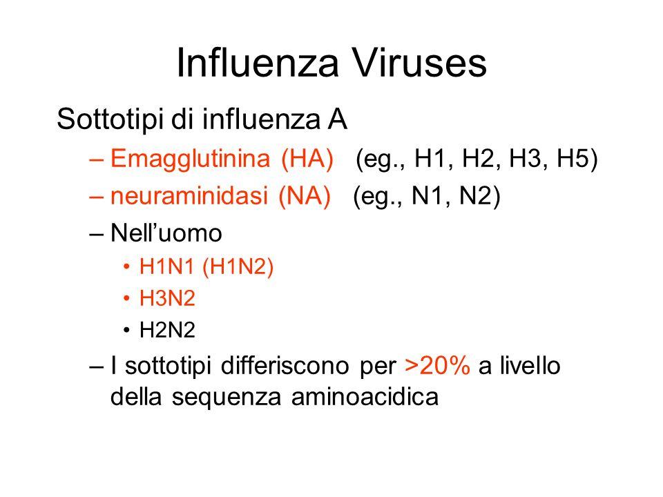 Influenza Viruses Sottotipi di influenza A –Emagglutinina (HA) (eg., H1, H2, H3, H5) –neuraminidasi (NA) (eg., N1, N2) –Nelluomo H1N1 (H1N2) H3N2 H2N2