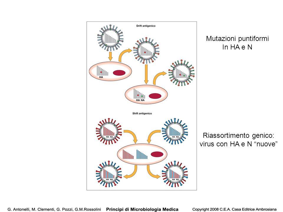 Mutazioni puntiformi In HA e N Riassortimento genico: virus con HA e N nuove