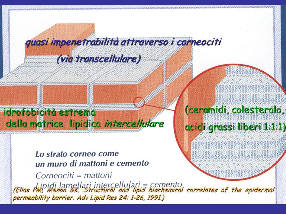 quasi impenetrabilità attraverso i corneociti quasi impenetrabilità attraverso i corneociti (via transcellulare) (via transcellulare) (Elias PM, Menon