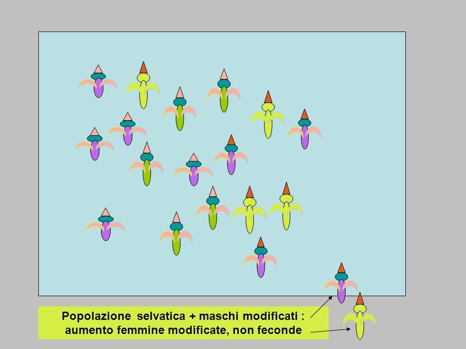 Popolazione selvatica + maschi modificati : aumento femmine modificate, non feconde